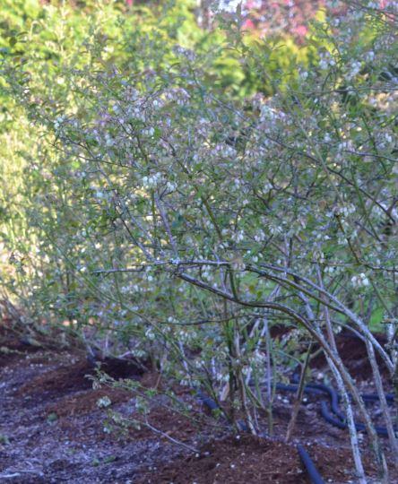 Blueberries in blossom