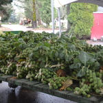 Brussel Sprouts (red outhouse)