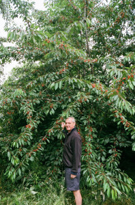 Helmut Pastrick in his orchard (Cherry tree)