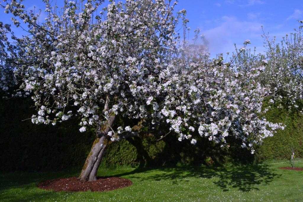 Heritage Transparant apple tree in bloom