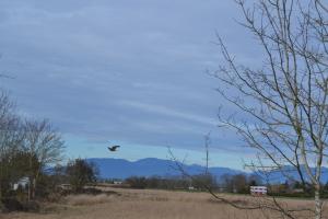 Hawke over farmland